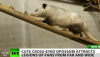 Après Paul le Poulpe, Heidi l'opossum qui louche pour les Oscars 2011!